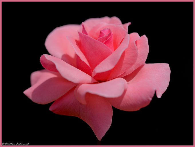 Douce et délicate Rose