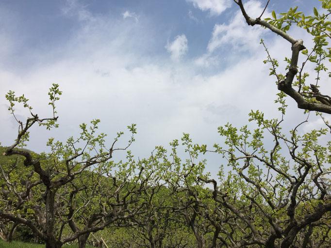 柿の葉も芽吹いたばかりで、柔らかく美味しそうです。