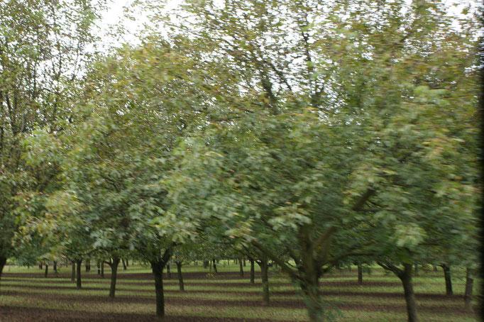 Noch mehr Nussbäume