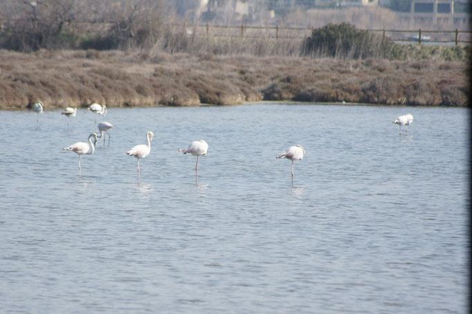 Die Flamingos um Sete sind