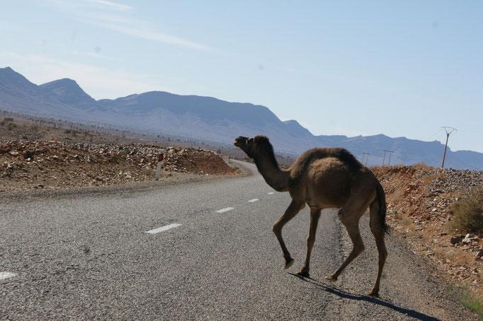 Kamele haben eindeutig Vortritt.