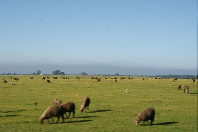Schafe so weit das Auge reicht