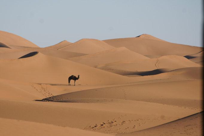 Einsames Kamel in den Dünen