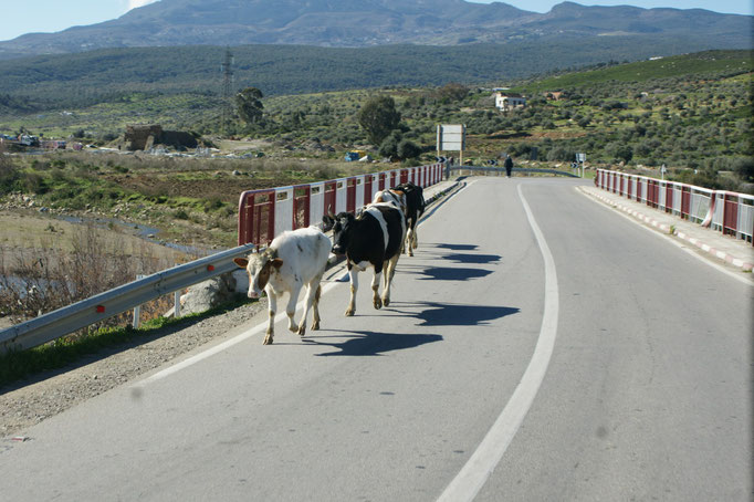 Kühe beim Spaziergang