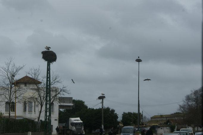 Störche in Kenitra