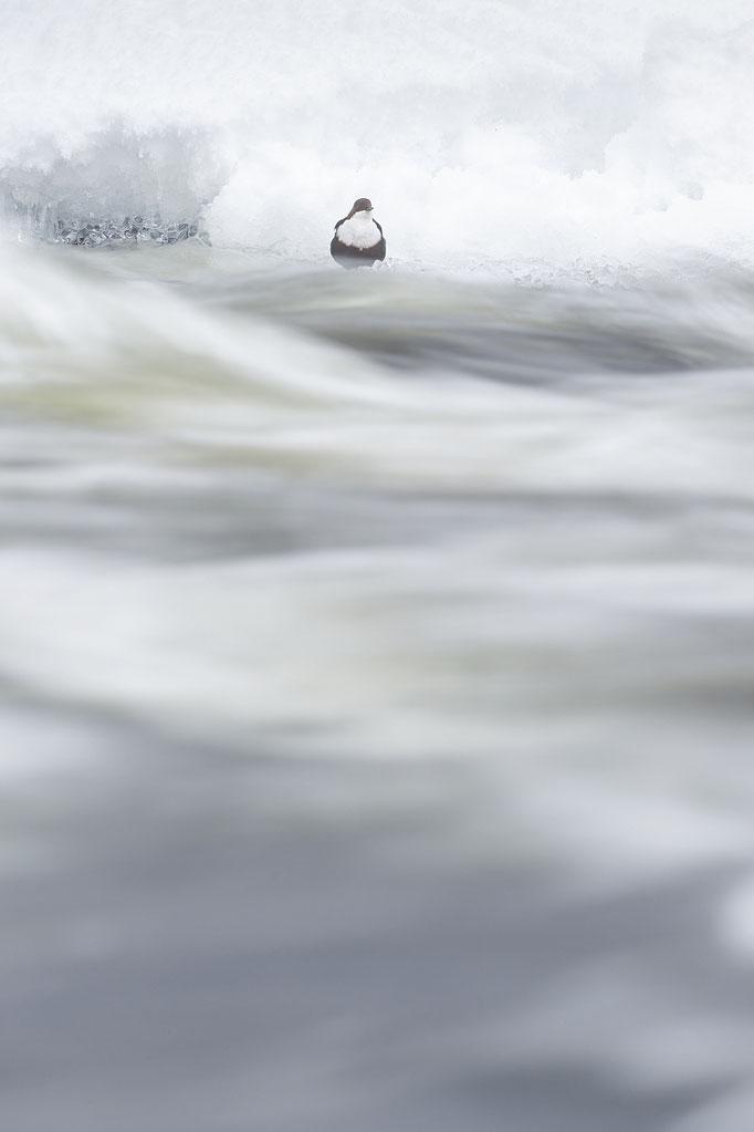 Merlo acquaiolo