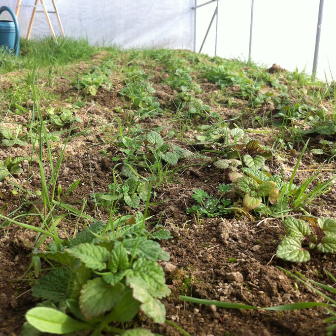 Jeunes plants de Mélisse sous serre avant la transplantation au printemps