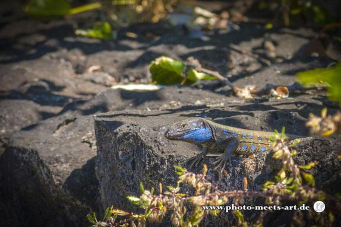 Spanien - La Palma - Unter den Wolken -  Männliche Kanareneidechse ( Gallotia ), zu erkennen an der blauen Farbe - Fotos by Ivano Fargnoli - www.photo-meets-art.de