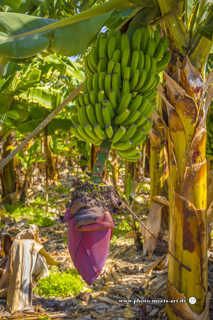 Spanien - La Palma - Unter den Wolken - Bananenplantage - Fotos by Ivano Fargnoli - www.photo-meets-art.de