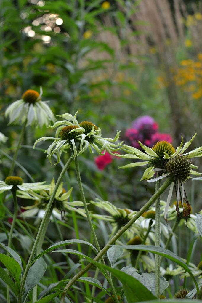 Wiesenraute Siegen die gärtnerei diewiesenrautes jimdo page