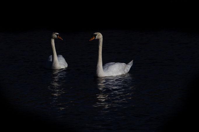 low key swans