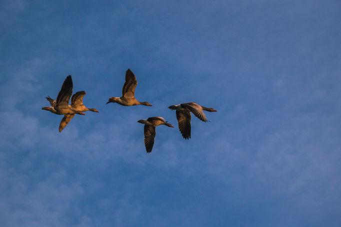 flok of geese