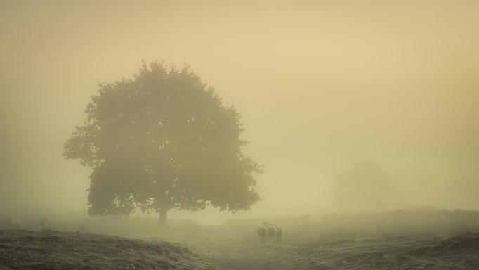 Schapen in de mist op het Aekingerzand