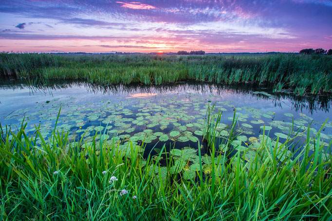 Waterlelies bij avondlicht