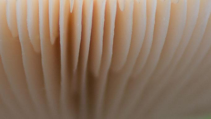 Lamellen van een paddestoel