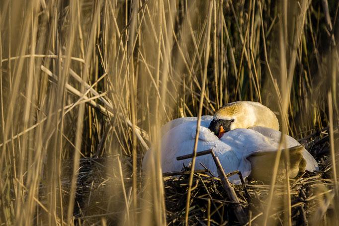 Broedende zwaan in het riet