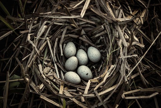 Nest met eieren van een meerkoet