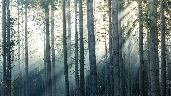 Zonnestralen in een magisch dennenbos