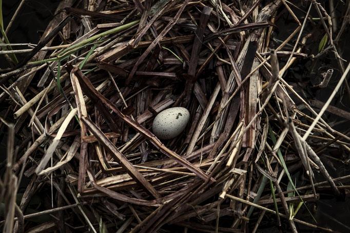 Nest en ei van een meerkoet