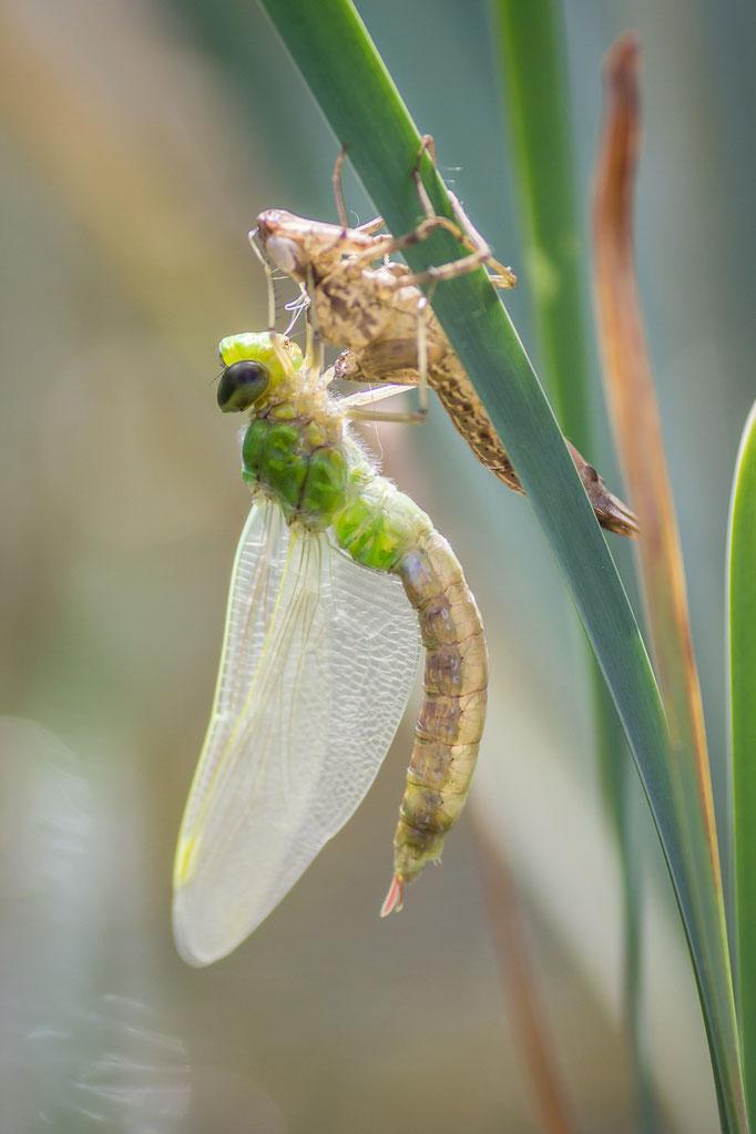 Uitsluipende libelle