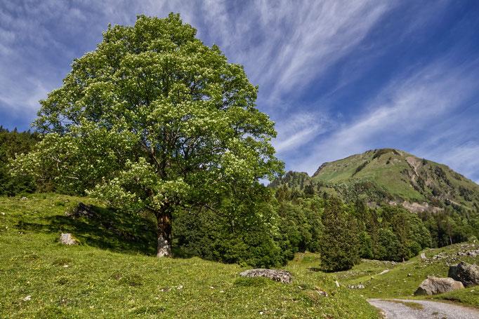 Das Wilerhorn thront über dem Brüniger Älpeli.  Bild: C. Schatzmann