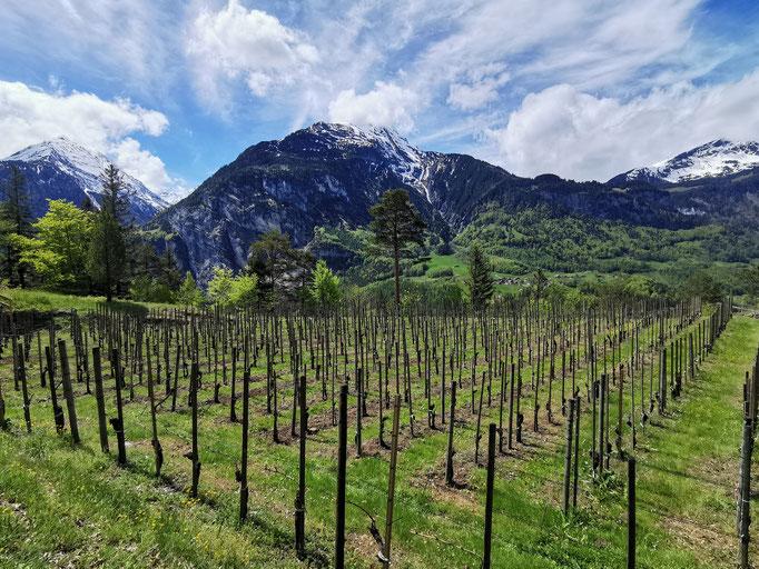 Auf der Bodenfluh befindet sich der höchstgelegene Weinberg des Kantons Bern
