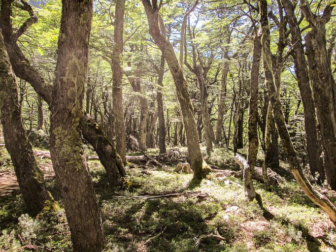 patagonischer Märchenwald