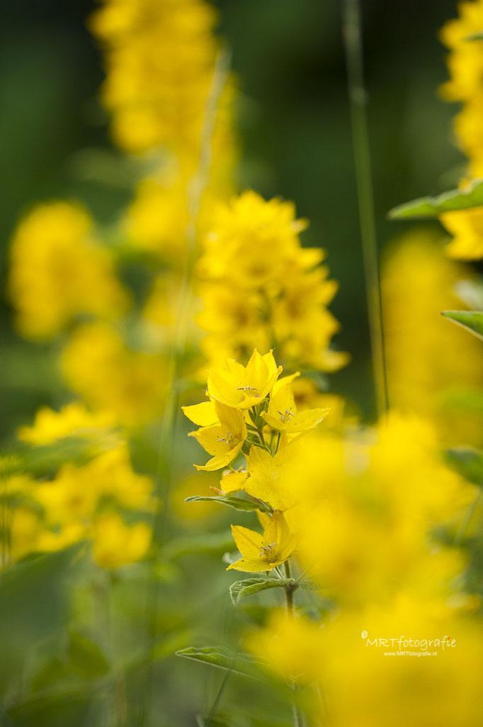 Gele puntwederik, macrofotografie