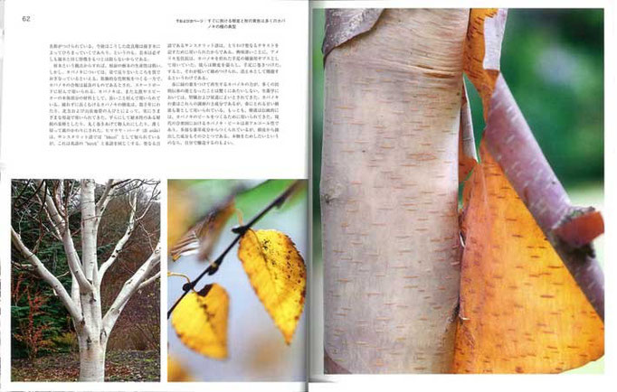 カバノキの美しい樹皮は、屋根の基層部や物入れ、聖典の用紙、ギプスとさまざまに利用され、樹液の薬効も注目されている