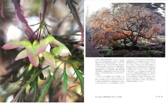 イロハモミジは、江戸時代に多数の変種が生まれ、「唐織錦」「笠置山」など風流な名が残る