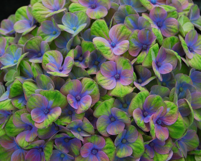 Hydrangea Magical Coral Blue Magical Four Seasons - mehrfacher Farbwechsel während der gesamten Blühzeit