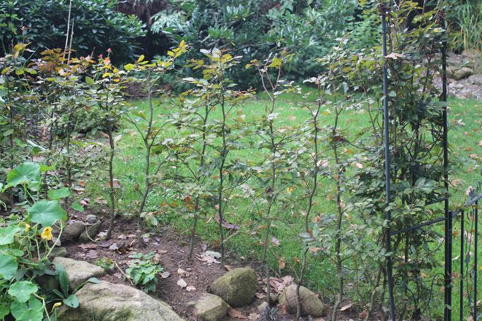 Blutrote Buchenhecke am Hang gepflanzt