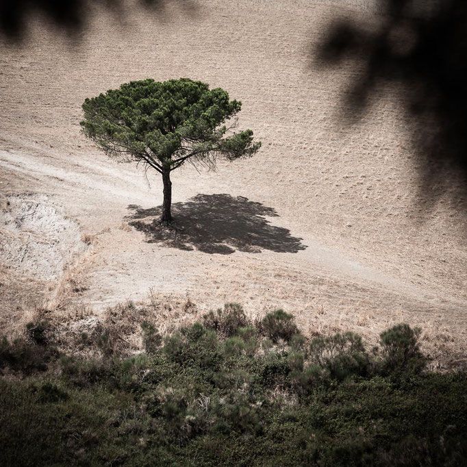 Lonely tree Tuscany