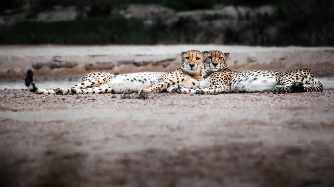 Cheetah brothers at Moditlo Wildlife Estate