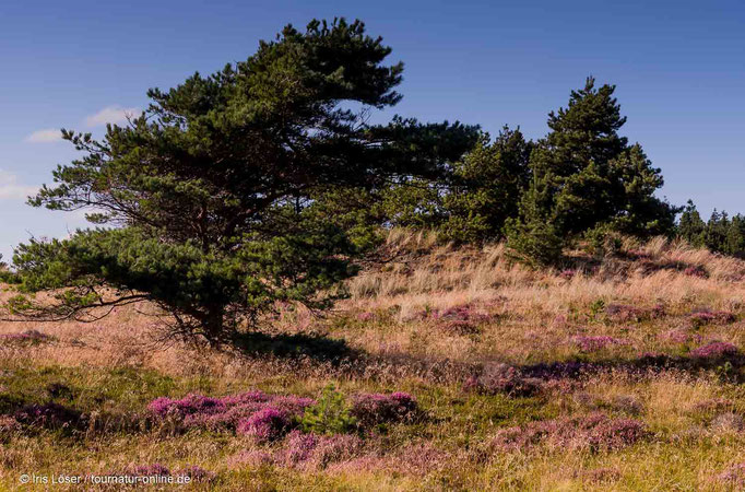 Heidelandschaft in Blavand