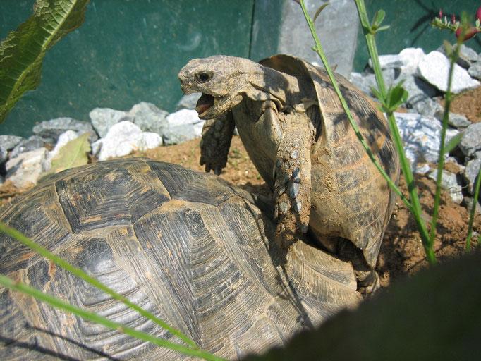Schildkrötenliebe