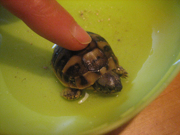 nach ca. 10 Wochen schlüpfen die Schildkröten