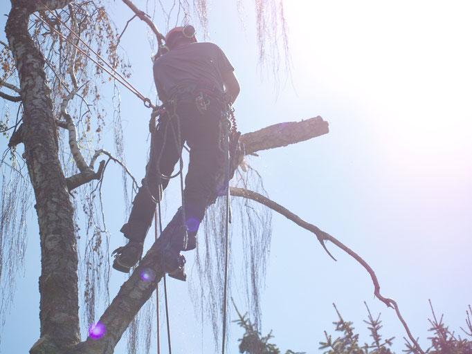 Fällung einer Birke in Fürth
