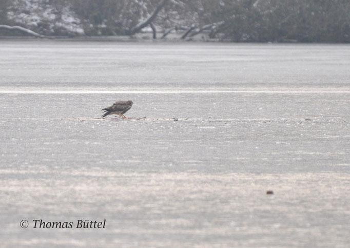 Mäusebussard auf dem Eis