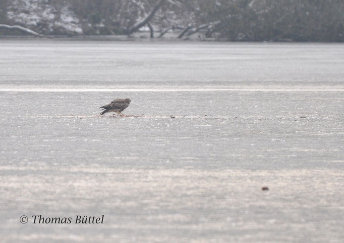 Common Buzzard on the ice