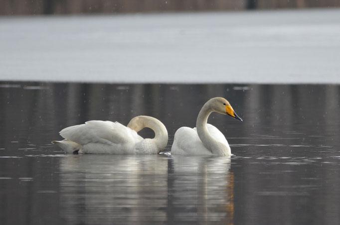 Oberlausitzer Seen-und Teichlandschaft, Sachsen 31.03.2013, Singschwan (Cygnus cygnus)