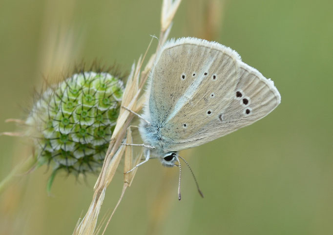 Thüringen 09.07.2011, Polyommatus damon