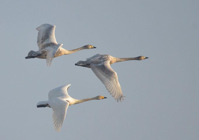 Uhyst, Sachsen 08.03.2014, Singschwan (Cygnus cygnus)