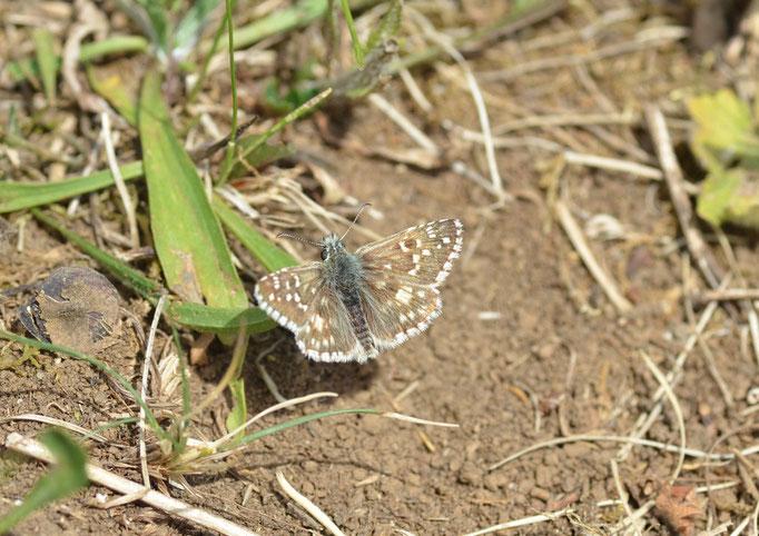 Thüringen 29.05.2011, Pyrgus armoricanus