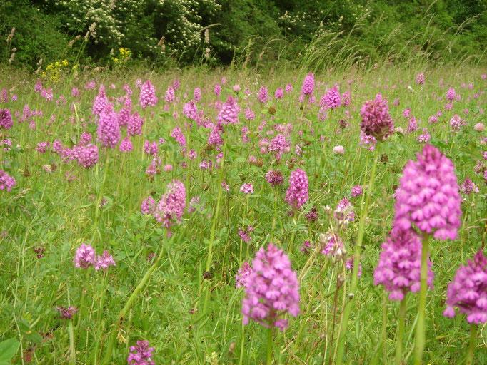 Prairie d'orchidées