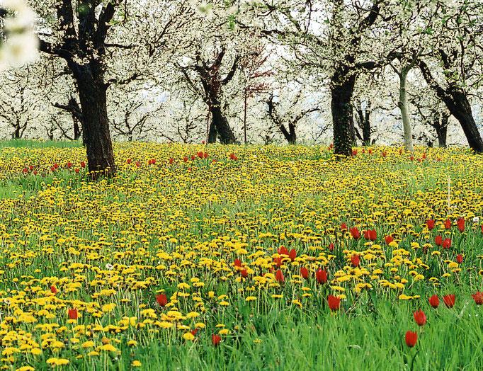 verger et tulipes Agenaise