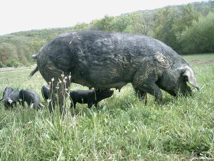 La Ferme de Bihouent - porcs noirs gascons