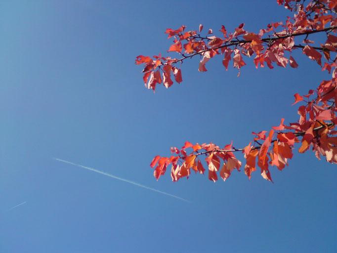 Zierkirsche (Prunus