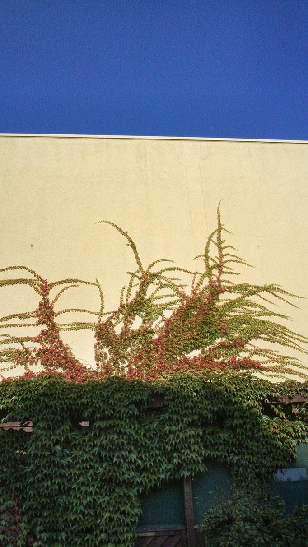 Wilder Wein (Parthenocissus)