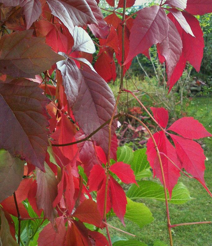 Fünffinger-Rebe (Parthenocissus quinquefolia)
